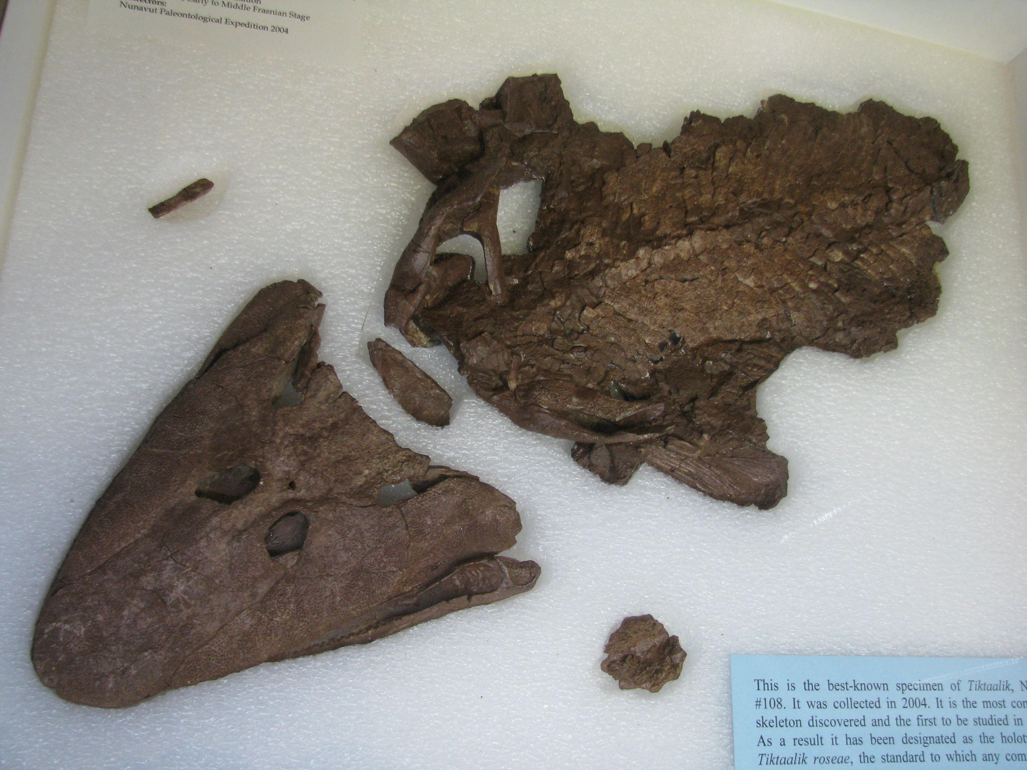 Tiktaalik roseae from your inner fish paesta for Your inner fish sparknotes