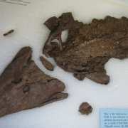 Tiktaalik roseae, from Your Inner Fish